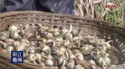 江城城西:慈菇大量上市价格走高