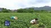 石望镇交明村:产业扶贫遍地开花